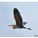 Agro roig en vol 01 - garza imperial en vuelo - purple yheron in flight - ardea purpurea