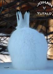 minihare (Johan Ylitalo) Tags: animal hare skogshare