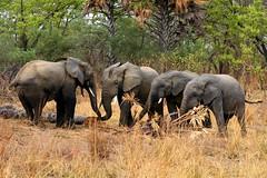 West african elephants (Jonas Van de Voorde) Tags: africa elephant nature animals wildlife safari westafrica benin loxodontaafricana pendjari jonasvandevoorde