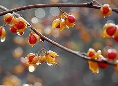Thanksgiving Day Bokeh (roddh) Tags: light red fall wet water yellow droplets interesting nikon afternoon d70s explore late bittersweet roddh dsc0732crop