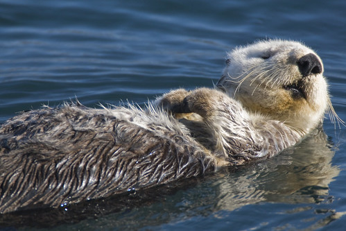 Adult Sea Otter (Enhydra lutris) in Morro Bay, CA