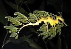leafy dragon by zxgirl