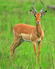 Impala (jeremyhughes) Tags: female southafrica nikon horns antelope d200 nikkor impala gamereserve ewe naturesfinest hluhluweumfolozi nikond200 300mmf4d