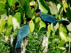 Great Blue Turaco (Makgobokgobo) Tags: africa bird turaco uganda greatblueturaco corythaeolacristata impressedbeauty corythaeola buwama