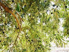 Aceitunas (Micheo) Tags: españa tree arbol andalucía spain catchycolours andalucia olives andalusia ok aceitunas olivos olivetrees olivares olivegroves