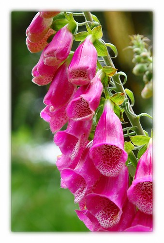 Digitalis in the Black Forest