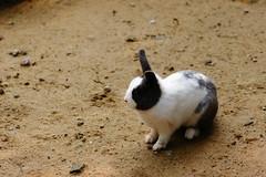Domestic Rabbit (ddsnet) Tags: animals zoo sony hsinchu taiwan  700   zoo    hsinchuzoo 700 hsinchu