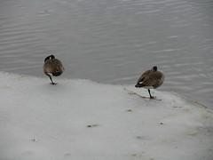 Helsinki 23 (Andrejček) Tags: animals finland helsinki animalplanet canadagoose brantacanadensis