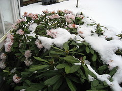 Snow on the rhodies