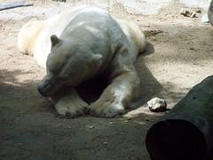la fleche ours arctique au repos 2 010806 (koller93) Tags: bear animal fauna mammal zoo polarbear tiergarten ursus br ours lafleche oursarctique