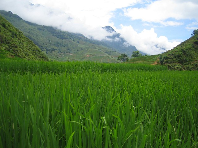rice padi field and mountain view