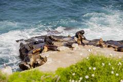 IMG_0824 (huyness) Tags: seals lajolla wildlife sealife beach ocean oceanside waves sealions cove tidepools