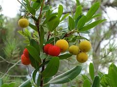 Fruits (sakarip) Tags: sakarip fruits red yellow ibiza tree strawberrytree arbutus
