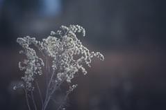 """the best part of beauty is that which no picture can express"" ( Sir Francis Bacon) (Bilderwense) Tags: natur nature dof shallow depth depthoffield tiefenunschärfe tiefenschärfe outdoor nikkor 50mm f18 nikon d5000 bokehrama bokeh smooth soft bokehlicious makro macro macrodreams macromonday schärfentiefe pflanze verschwommen blüte macromondays serene gras vignetting trail weed grass heiter weeds"