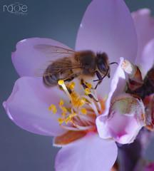 ABEJA (ROGE gonzalez ALIAGA) Tags: roja insecto macro flor rosa pink naturaleza primer plano 70300mm