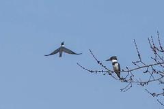 BELTED KINGFISHERS (nsxbirder) Tags: beltedkingfisher megacerylealcyon brookville indiana whitewaterriver franklincounty