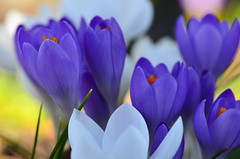 Opening-Day (James_D_Images) Tags: crocus flowers blue white open petals closeup bokeh pink green grass spring