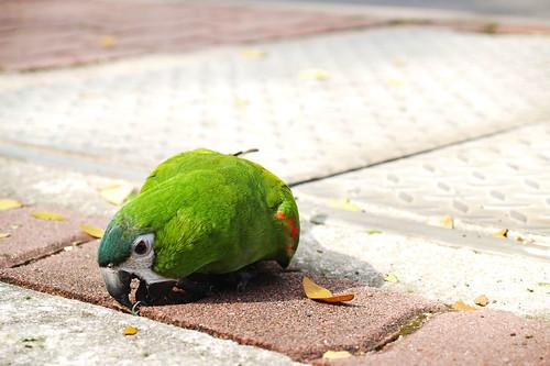 NUS Parakeet