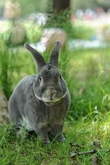 usanpo (Tomotada) Tags: rabbit usagi minirex