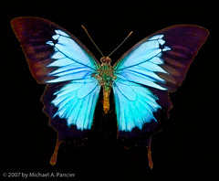 Kind of Blue (Michael Pancier Photography) Tags: blue usa butterfly bravo florida digitalart fineartphotography naturephotography seor butterflyworld naturephotographer floridaphotographer michaelpancier michaelpancierphotography superbmasterpiece justhitmewithyourbestshotselectedforsept2008photocontest wwwmichaelpancierphotographycom seorcohiba