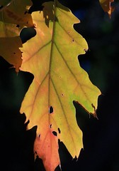 Poetry (makeupanid) Tags: autumn colour cemetery leaf searchthebest autumnleaves fallfoliage redoak mountpleasantcemetery quercusrubra mywinners theperfectphotographer whydidntanybodytellmeiwasspellingcemeterywrongithoughtitdidntlookright