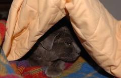 Cat??? (Alessandro Voltolina) Tags: topo animal cat sheep covered blanket katze gatto crazycat nikond80 kissablekat volto71