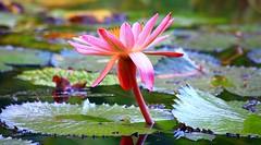 NINFEE (peo pea) Tags: flowers flower nature natura sicily fiori palermo fiore sicilia ortobotanico naturalmente ninfee peopea