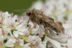 Middle Barred Minor (Oligia fasciuncula) (Walwyn) Tags: insect moth lepidoptera noctuidae warwickshire walwyn draycotemeadows oligiafasciuncula profmoriartydotcom:book=62 profmoriartydotcom:book=61 profmoriartydotcom:book=35 profmoriartydotcom:book=54