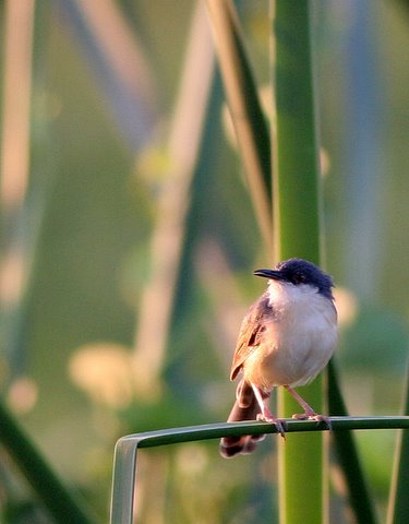 ashy prinia in the reeds 241107