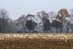Snow Geese with Horses (larryn2009) Tags: november delaware lewes rehobothbeach 2007 snowgeese bylarrycrowjr