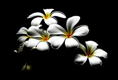Hawaiian Nature Crap (vyxle) Tags: light flower nature contrast hawaii soft pretty natural waikiki plumeria sweet explore honolulu naturecrap