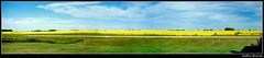 Endless Horizons (Kurokami) Tags: flowers blue canada flower green field yellow flat horizon canadian manitoba bloom flowering prairie saskatchewan wilderness canola endless boarder blooming