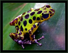 Strawberry Poison Dart Frog (Grete Howard) Tags: animals frog poisondartfrog dartfrog strawberrypoisondartfrog