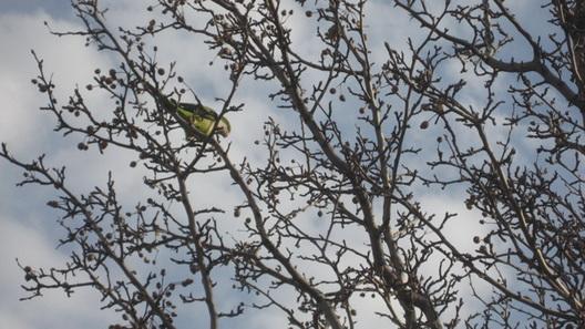coney parrots