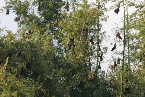 fruit bats ranganathittu 040108