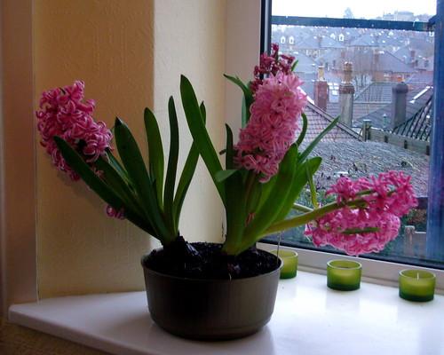 Hyacinth's