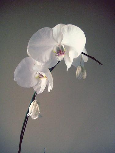 White Karuna Orchid