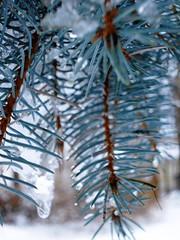 Bruce... (AutumnSunOriginals) Tags: winter snow macro green ice nature leaves pine leaf flora dof bruce stems needles 2007 botanicals sacredwater coloradobluespruce superbmasterpiece diamondclassphotographer tiedyesky sacredmanner conninphoto lemonyellowsky13 lys13
