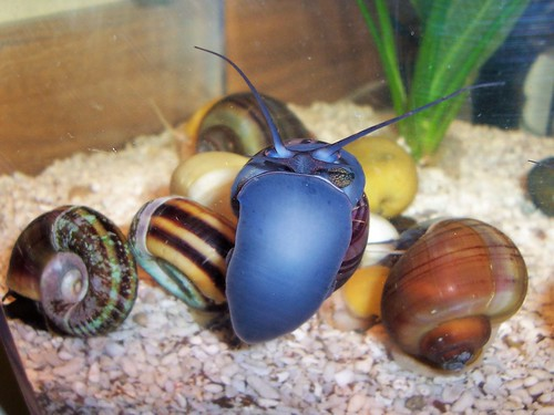 Apple snail anatomy