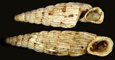 lerosiensis1b