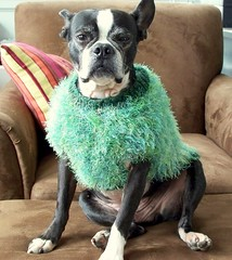 Oreo Posing in his St. Patricks Day Sweater