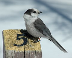 Five A.M. (makeupanid) Tags: forest jay north friendly algonquin corvid 5am boreal grayjay camprobber greyjay perisoreuscanadensis whiskeyjack veryfriendly ihatemondays anawesomeshot