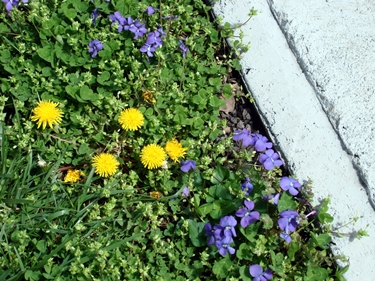 violets and dandelions 1