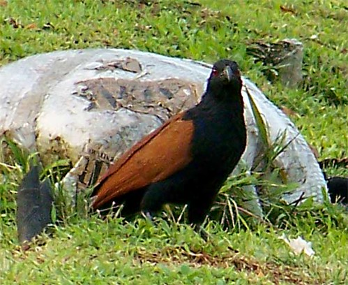 Bubut Besar Greater Coucal A Photo On Flickriver