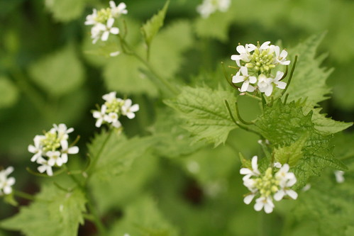 Flowers of garlic mustard
