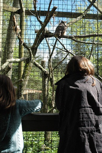 watching the great horned owl