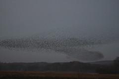 IMG_4376 (litrate) Tags: murmuration starlings silverdalemoss nearleightonmoss dusk aweinspiring cumbria