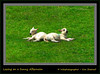 Lazing on a Sunny Afternoon (Irishphotographer) Tags: sun cute art nature twins sheep relaxing lambs lyingdown kinkade sunnyafternoon beautifulireland lazingonasunnyafternoon imagesofireland kimshatwell ©irishphotographer breathtakingphotosofnature beautifulirelandcalander wwwdoublevisionimageswebscom