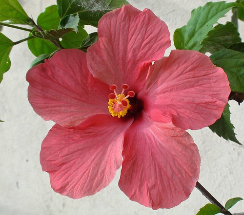 Hibiscus at home. by alopez2006
