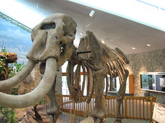 Mastodon Skeleton, from the side